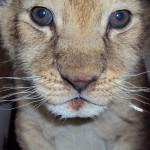 Pui leu Parc Zoo Radauti