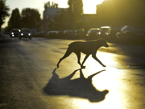 """Anunt privind cainii fara stapan de pe raza municipiului Radauti conform """"Regulamentului privind organizarea si functionarea S.G.C.F.S."""""""